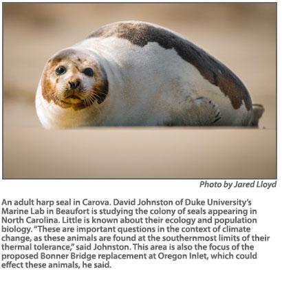02.19.2015-ArcticSealsAppearanceOnNorthCarolinaBeachesIsAPuzzling3