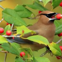 Hatteras Christmas Bird Count