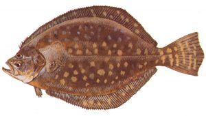 Recreational and commercial southern flounder seasons to