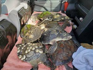 Cold stunned sea turtle