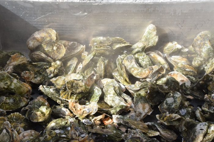 Effort On to Create NC's First Oyster Trail | Island Free Press