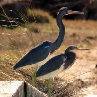 Tricolored-Herons-Jbeane-Portsmouth-CBC