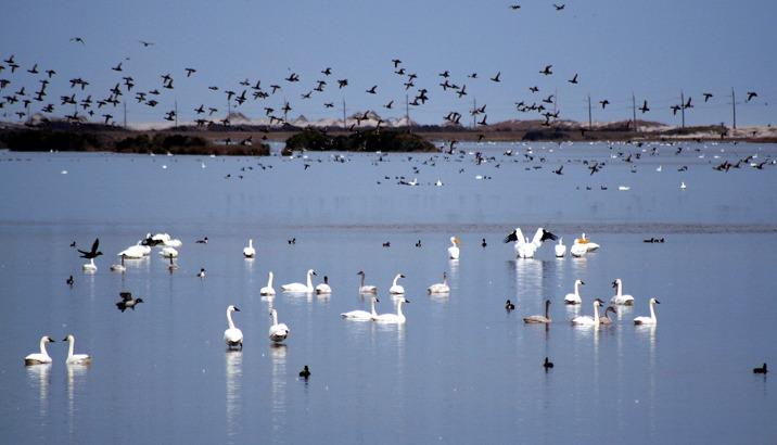 pea_island_birds